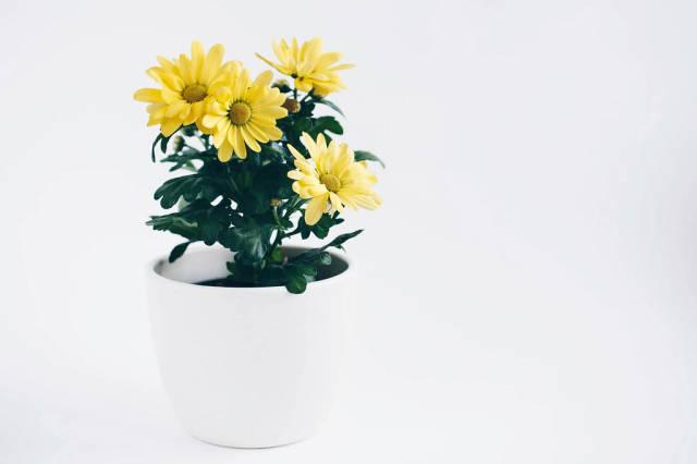 Gelbe Frühlingsblumen im Blumentopf vor weißem Hintergrund