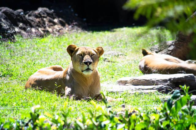 Wachsame Löwin im Zoo