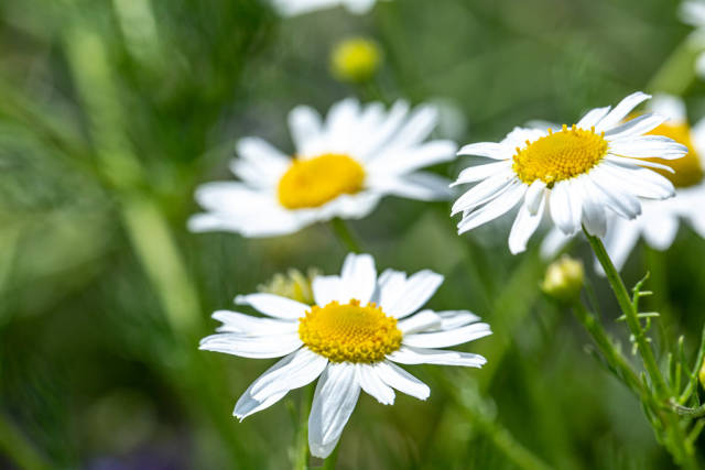White daisies on a summer day