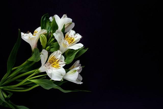Blumen der weißen Lilie gegen den schwarzen Hintergrund