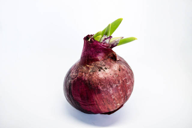 Fresh and big red onion