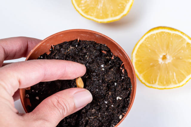 Planting a lemon seed in a pot