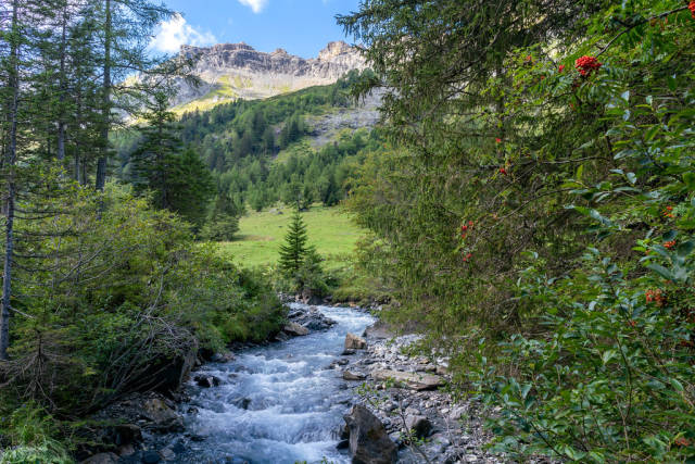 Mountain river between the red berry plants in Swiss canton Vaud