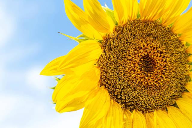 Yellow sunflower against blue sky