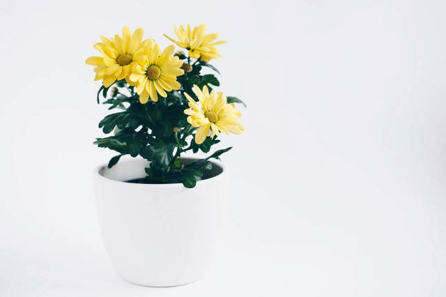 Fresh spring yellow flowers in a pot. White background.