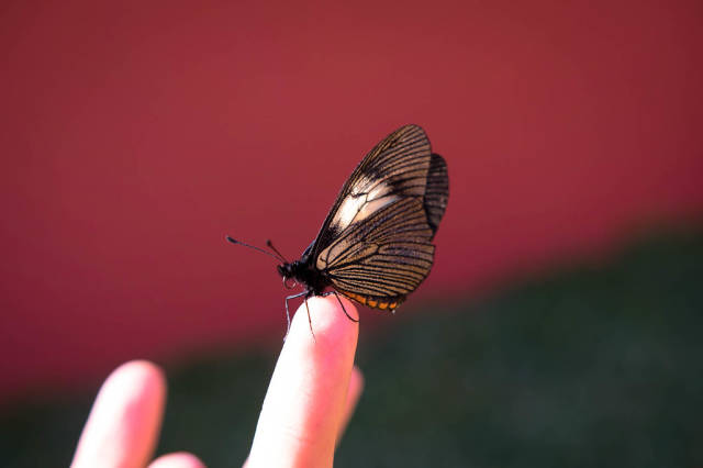 Butterfly standing on a persons finger