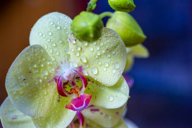 Fresh yellow Orchid flowers with dew drops