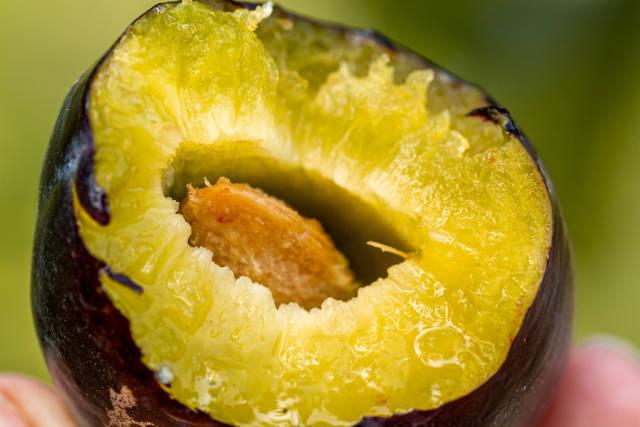 Close-up, bitten ripe plum with a stone inside