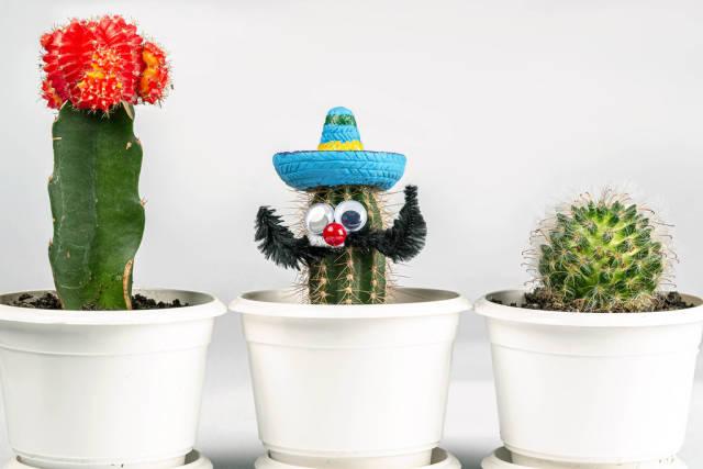 Three cactus in white flower pots