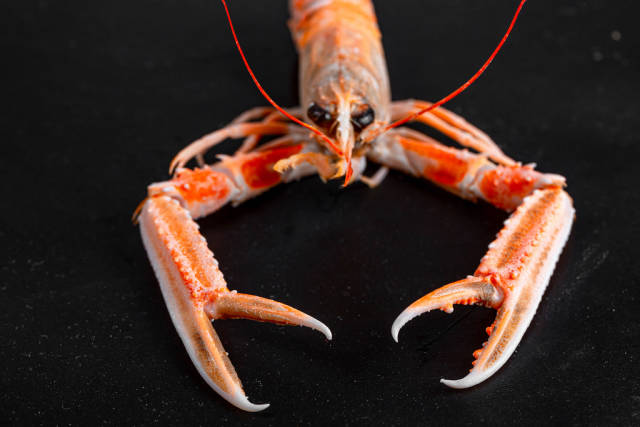 Boiled red lobster on a black background with open claws, front view