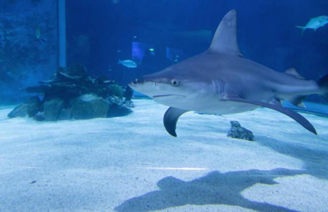Sandbar Shark in Tropicarium Budapest