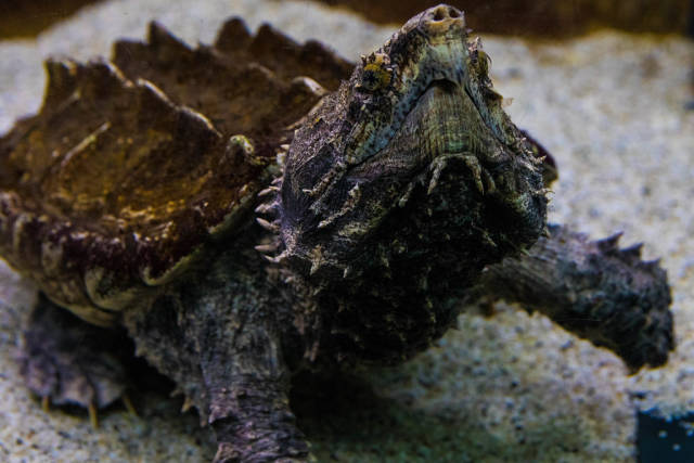 Alligator snapping turtle in Tropicarium Budapest