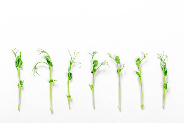 Microgreens pea shoots lined up in a row against a white background