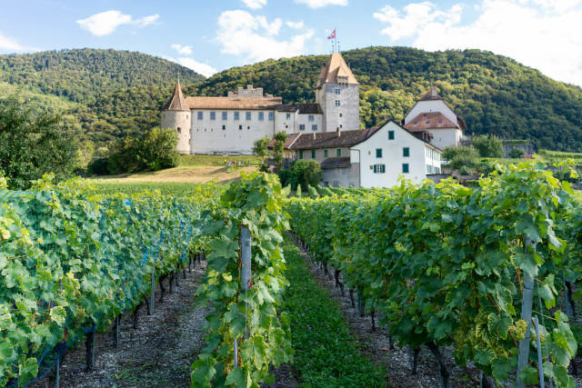 Vineyard with white grapes in front of oldschool Swiss castle