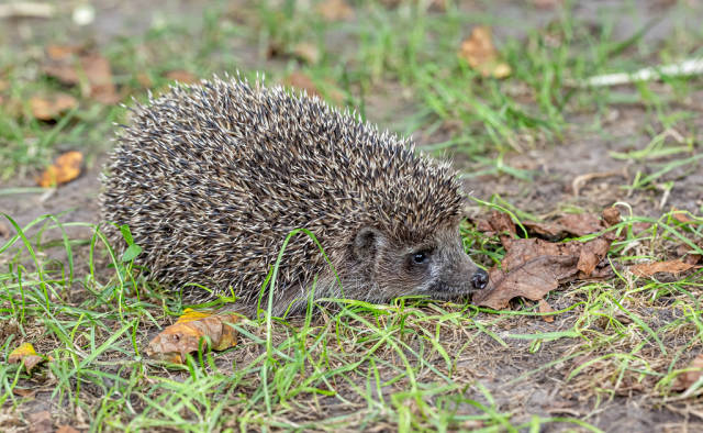 Beautiful hedgehog on the grass with dry leaves