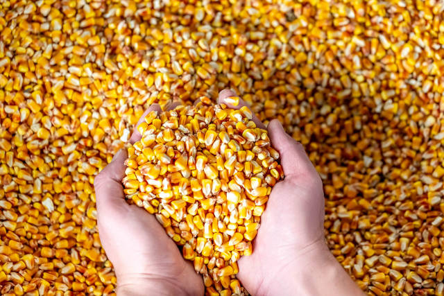 Farmer holding corn grains in his hands