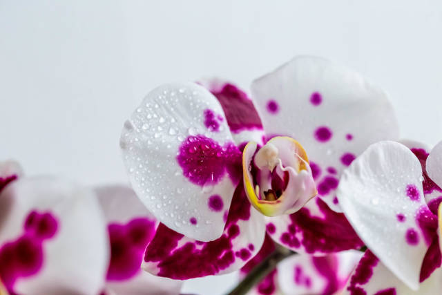 White and purple Orchid flowers with droplets