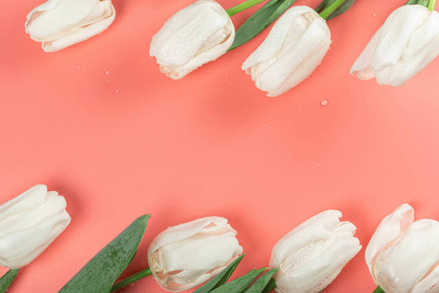 White tulips with water drops on a pink background, top view