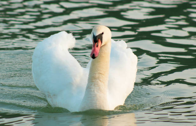 White swan in the water
