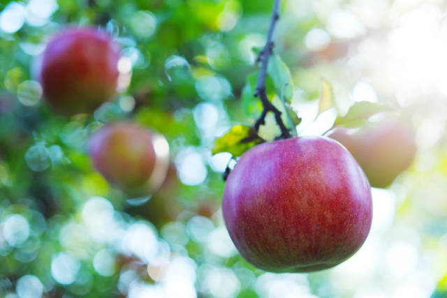 Apple tree with fruits at crop time