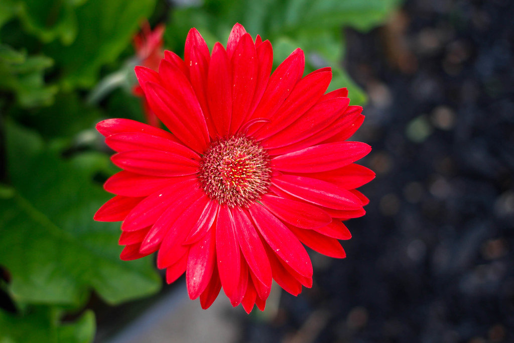 Red Daisy Close-up