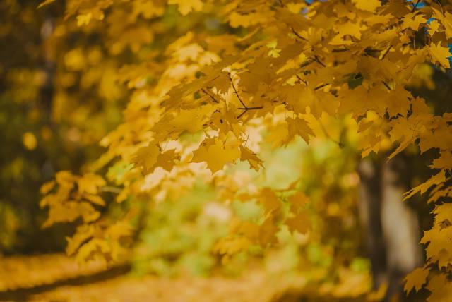 Autum Maple Leaves