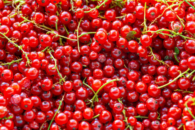 Background of ripe juicy red currant berries