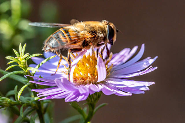 Close up of a bee on a purple flower