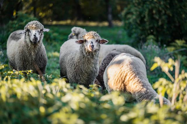 Close Up on Sheeps Looking at the Camera