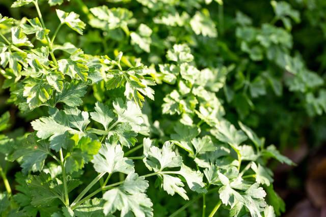 Green Parsley leaf background