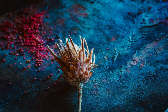 Dried Protea Plant On Blue Rustic  Background