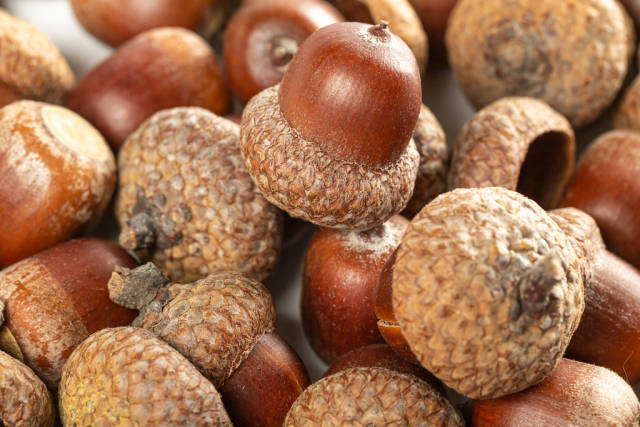 Autumn background of oak brown acorns