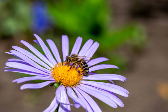 Bee collects nectar on a purple Daisy