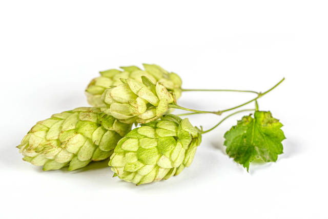 Hop cones on the white background