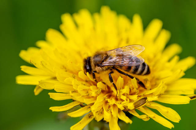 Honey bee on a yellow flower collecting pollen
