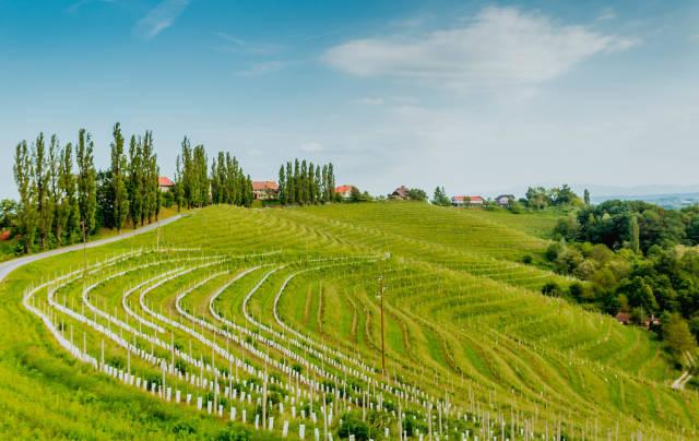 Weinberge in Luttenberg in der Steiermark