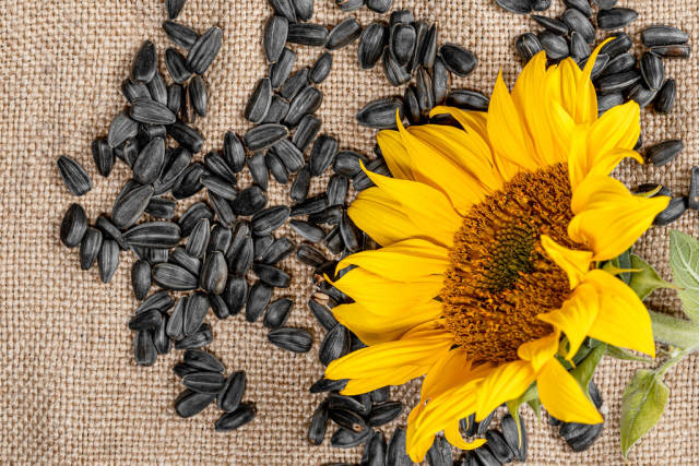 Sunflower seeds and sunflower on burlap