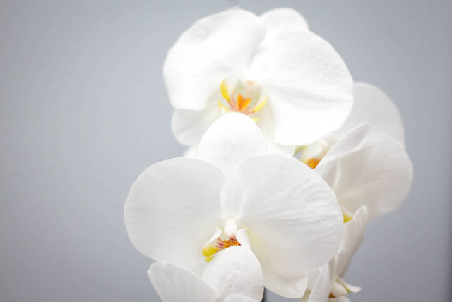 White Orchid Close-Up
