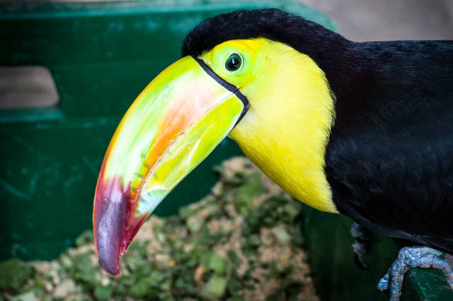 Close-up of a keel billed toucan