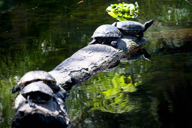 Turtles having a sunbath on a log