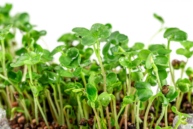 Fresh young micro-greens radish growing in the ground, close- up