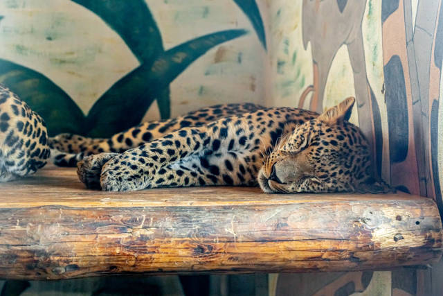 Adult cheetah sleeps in an ecopark. The concept of rare animals and their protection