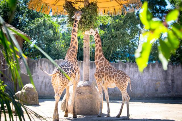 Zwei Giraffen im Zoo während der Fütterung