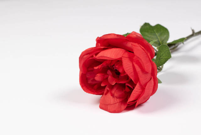 Red rose laying on a white table