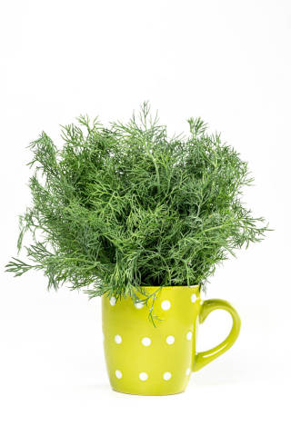 Fresh dill in a green cup on a white background