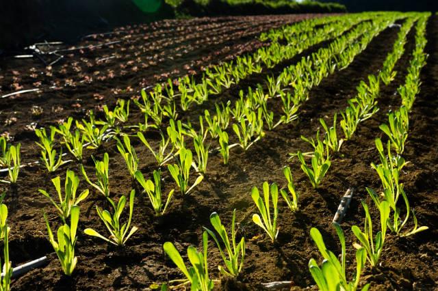 Young roman lettuce plants