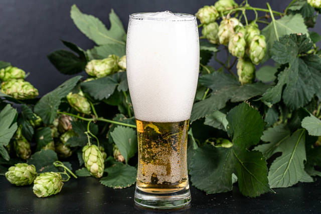 Glass of beer on a dark background with fresh hops