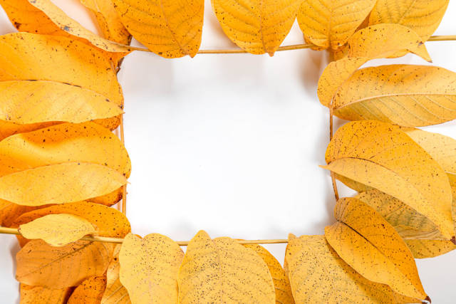 Frame of yellow autumn walnut leaves
