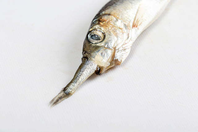 Close-up of a small fish in the mouth of a large fish on a white background