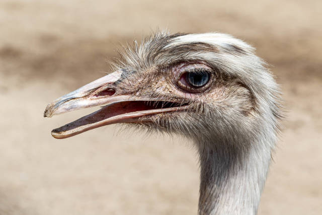 Ostrich head with open beak, close-up